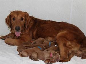 Dark red golden retriever puppies wisconsin – Dog life photo