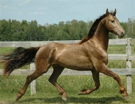 Most Beautiful Horse Breed in the World