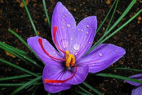 fiore di zafferano fiore zafferano aromatiche caratteristiche fiore