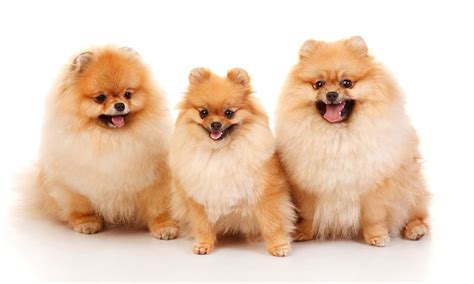 and easy hair colors 140 and fabulous pomeranian names my 39 s name