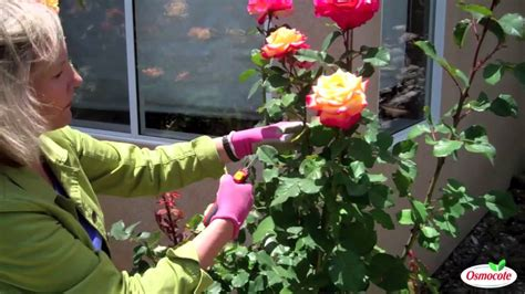 how to trim roses in summer summer rose pruning youtube