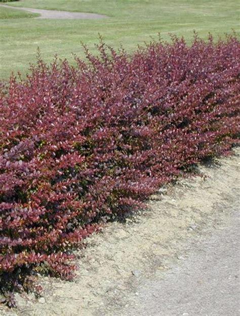 Berberis Thunbergii Atropurpurea berberis thunbergii atropurpurea 40 60cm