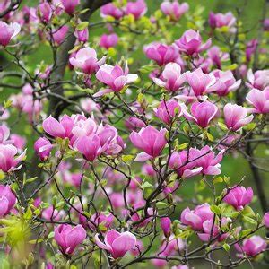 magnolia tree varieties australia magnolia felix pbr garden express
