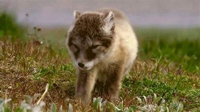 Gifs Cutest Animal Sleepy Animals Wolf Pup
