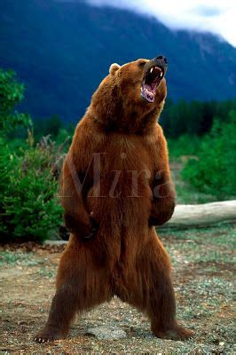 grizzly bear standing bear tattoo ideas pinterest