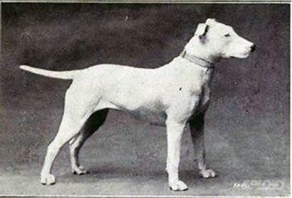 Dogs Breeding Bull Terrier Bulldog English Changed