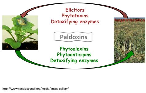phytoalexin biosynthesis natural chemistry ecology chemical usask pedras research groups