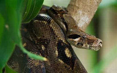 Anaconda Snake Wallpapers Facts Dangerous Giant Fabulous