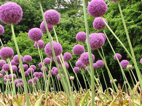 what are alliums allium alliaceae