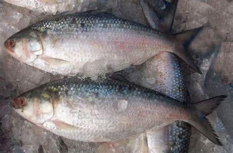 aire boalsheatfish fish maw productsbangladesh aire