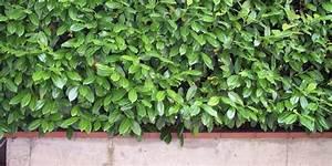 Arbuste Persistant Haie : quels arbustes persistants pour une haie toujours opaque ~ Premium-room.com Idées de Décoration
