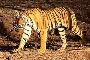 Book A Tiger Com : bengal tiger wikipedia ~ Yasmunasinghe.com Haus und Dekorationen