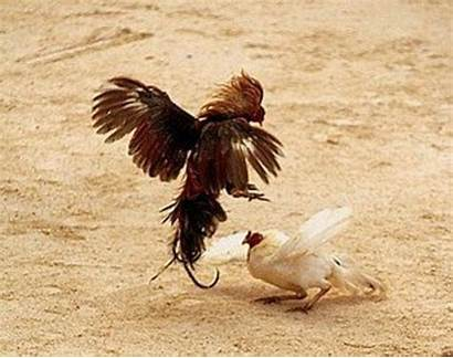 Roosters Animal Fighting Rooster Fight Abuse Cockfights