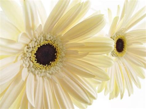 cream daisy flowers  brown centerjpg  comment