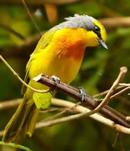 Orange-breasted Bird