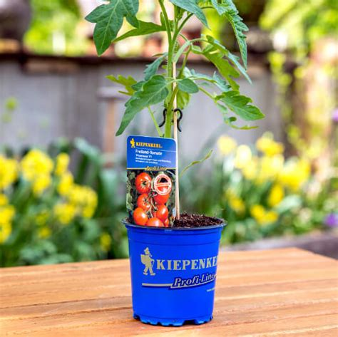 welche erde für tomaten tomaten d 252 ngen leicht gemacht infos und tipps vom profi