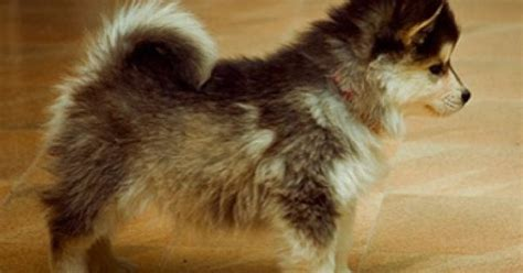 huskies that dont shed pomerania and husky mix stay this size forever and