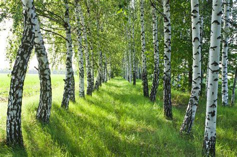 birch forest birch water the new coconut water