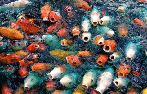 3d Animal Wallpaper 3d Fish Wallpaper - animals carp fish koi wallpapers hd desktop and