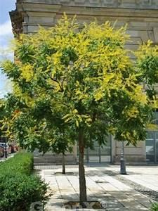 Johannisbeeren Hochstamm Kaufen : koelreuteria paniculata blasenesche blasenbaum chinesischer lackbaum g nstig kaufen ~ Eleganceandgraceweddings.com Haus und Dekorationen