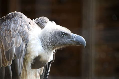 20 fun facts about vultures trivia