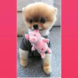 Jiffpom Puppy