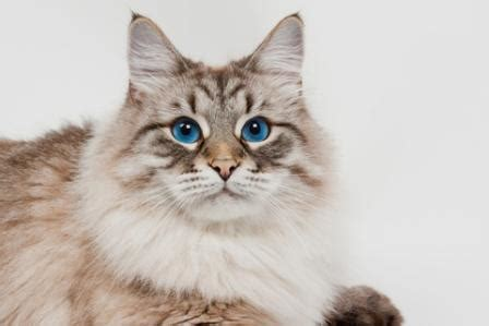 Siberian Cat  History And Cat Facts
