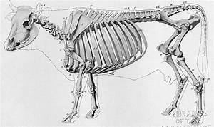 Draw And Label The Skeleton Of A Cow
