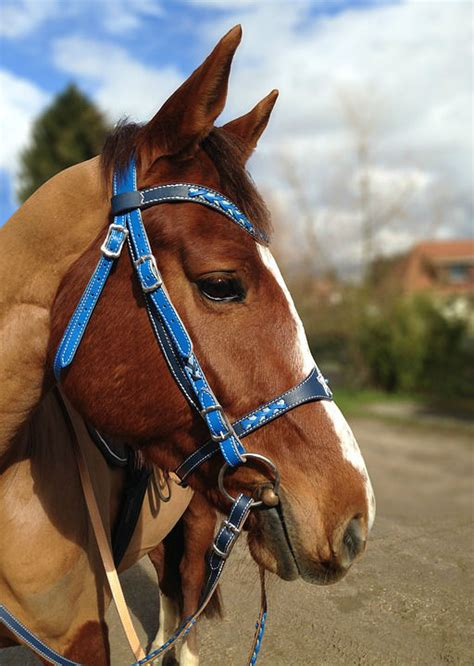 horse halter shaved animal equine portrait profile careful manege bai whole market necessities bunch bought wardrobe completed without daily