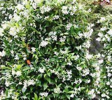 Blühende Kletterpflanzen Winterhart Mehrjährig : winterharte kletterpflanzen ebay ~ Michelbontemps.com Haus und Dekorationen