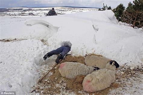 Uk Weather Forecast Thousands Of Newborn Lambs Freeze To