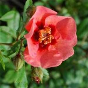 Alte Rosensorten Stark Duftend : rosensorten duftrosen eu ez eugen e marlitt eugene ~ Michelbontemps.com Haus und Dekorationen