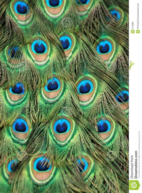 peacock tail feather royalty  stock image image