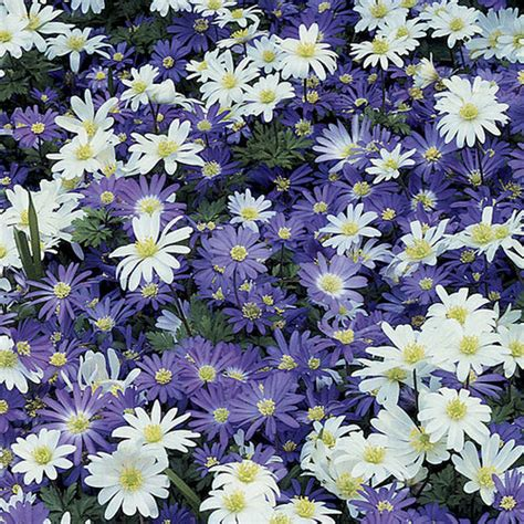 grecian windflowers growing tips grecian windflower finegardening