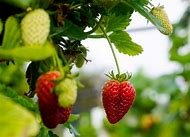 Fruit Picking Strawberries