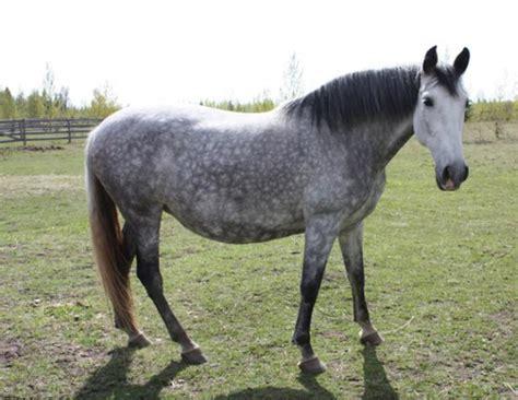 andalusian horse horses canadian spain society breed history horsebreedspictures
