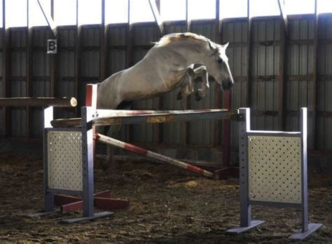 andalusian horse ontario stallion stud stallionsnow