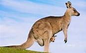 Image result for Image Kangaroo