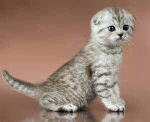 expensive cats most expensive cat breeds in the world top ten