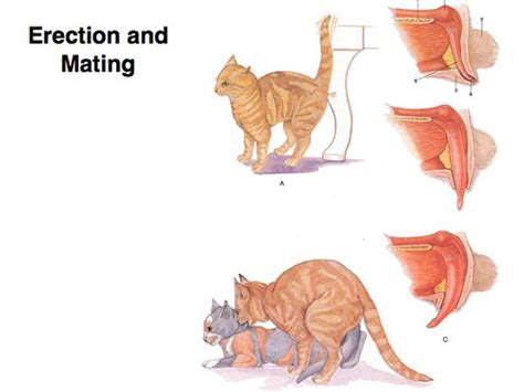 how do cats mate lecture 26 dog and cat reproduction