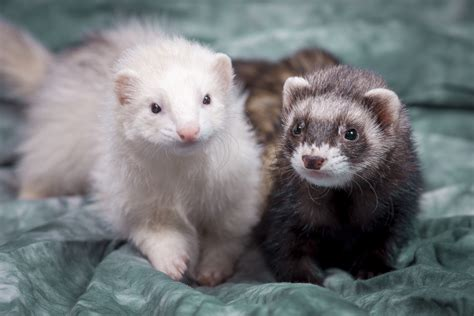 are ferrets pets my tips on caring for pet ferrets dr marty becker