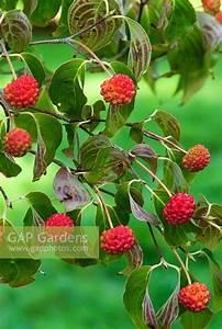 Cornus Kousa Schmetterling : gap gardens cornus kousa 39 schmetterling 39 sir harold ~ Michelbontemps.com Haus und Dekorationen