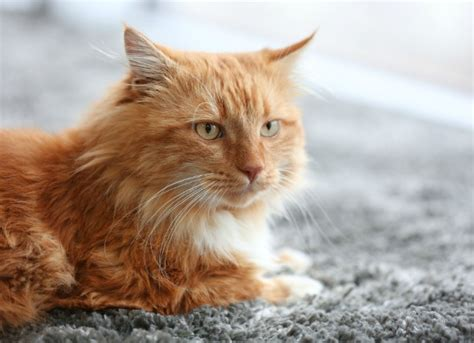 Acetominophen (tylenol) Poisoning In Cats Petmd