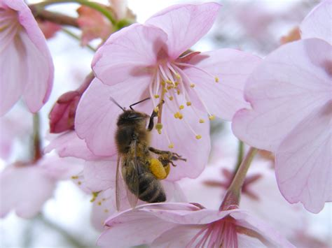 File:Bee on cherry 02.jpg - Wikimedia Commons