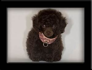 brown teacup poodle - Google Search | cute and cuddly ...