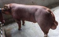 豬場公豬睪丸炎的有效防治措施 - 每日頭條