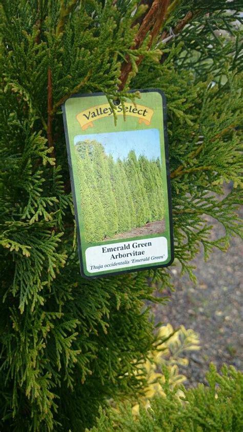 trees emerald green arborvitae grow