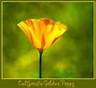 California State Flower - The Golden Poppy - D2X-3-31-11_4 ...