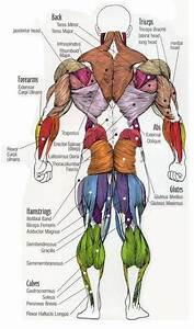 Major Muscles Of The Body  With Their Common Names And Scientific  Latin  Names Your Job Is To