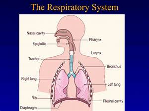 Bio World  The Respiratory System
